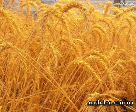 Пшеничное масло история применения